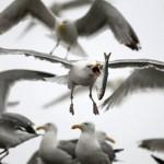 В Нью-Йорке уничтожают птиц для безопасности полетов
