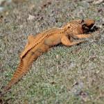 В США сфотографировали оранжевого аллигатора